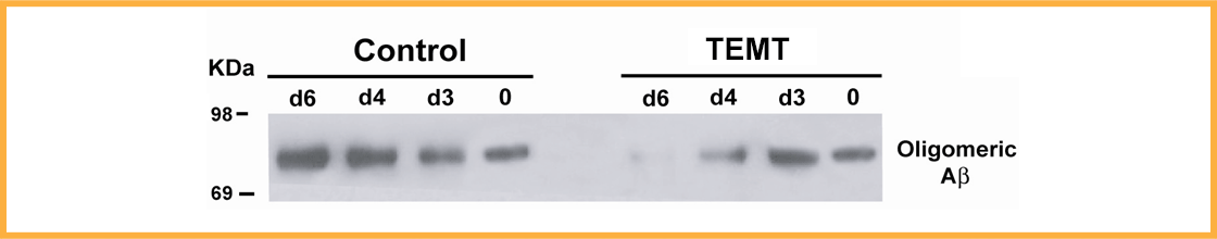 Aβ oligomers form over 6 days in control brain tissue from AD mice (left). However, TEMT prevents this Aβ oligomer formationwhen givenover thesame period (right).